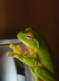Green tree Frog on glass Stock Photography