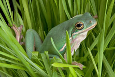 Green tree frog in grasses Royalty Free Stock Image