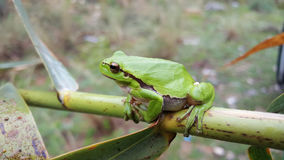 The green tree frog. In Greece royalty free stock images