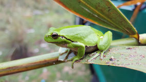 The green tree frog. In Greece stock photo