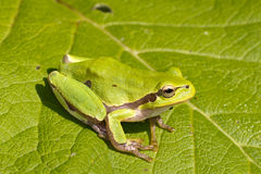 Green Tree Frog on a green leaf / Hyla ar. Green Tree Frog on a green leaf close-up / Hyla arborea Stock Photos