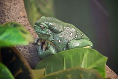Green tree frog. The green tree frog is resting on a branch stock photos