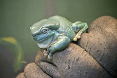 Green tree frog. The green tree frog is resting on a branch stock image