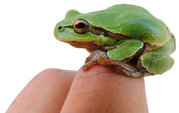 Green tree frog on the hand human Royalty Free Stock Photo
