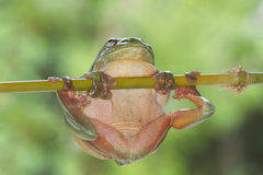 Green tree frog hanging from branch. With smooth green background Royalty Free Stock Photos