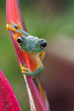 Green tree frog. Frog hanging on a leaf Stock Photos