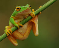 Green tree frog hanging on. Rare green tree frog spotted hanging onto a reed at the edge of a dam Royalty Free Stock Images