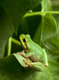 Green tree frog hiding in foliage Royalty Free Stock Image
