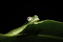 Green tree frog hiding leaf in amazon rainforest. Green tree frog hiding behind leaf in tropical rain forest of amazon jungle black background with copy space stock photos