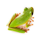 Green tree frog high view. Top view on a white-lipped tree frog or Litoria Infrafrenata isolated on white Stock Image