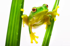 Green tree frog holding on grass Stock Photo