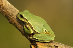 Green tree frog / Hyla arborea Stock Images