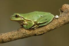 Green tree frog / Hyla arborea Stock Images