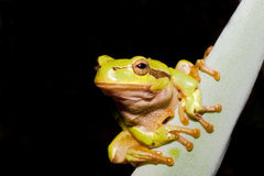 Green Tree Frog  (Hyla arborea) Royalty Free Stock Photos