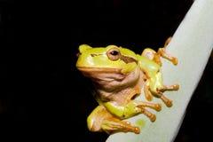 Green Tree Frog  (Hyla arborea) Royalty Free Stock Photos
