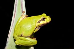Green Tree Frog (Hyla arborea) Stock Photos