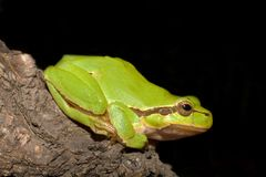 Green Tree Frog  (Hyla arborea) Stock Photo
