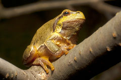 Green Tree Frog  (Hyla arborea) Royalty Free Stock Photo