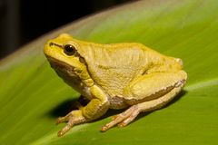 Green Tree Frog (Hyla arborea) Royalty Free Stock Images