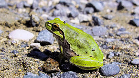 Green tree frog, Hyla arborea, Cyprus Stock Photography