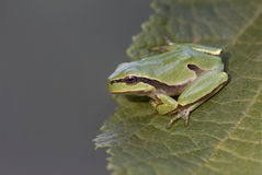 Green tree frog Hyla arborea on tree leaf Stock Images