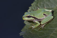 Green tree frog Hyla arborea on tree leaf Royalty Free Stock Images