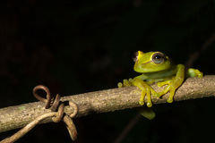 Green tree frog isolated black copy space treefrog. Green tree frog at night on a branch in the Bolivian rainforest Hypsiboas cinerescens treefrog at night on stock images