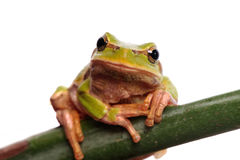 Green tree frog isolated on white Royalty Free Stock Photography