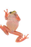 Green tree frog isolated on white background Stock Photos