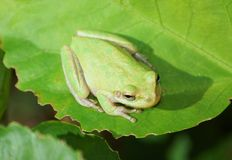 Green Tree Frog on large green leaf Stock Image