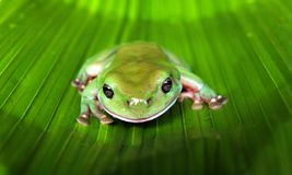 Green Tree Frog on a Large Leaf Stock Photo