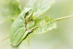 Green tree frog on a leaf royalty free stock photo