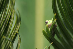 Green Tree Frog on leaf Stock Image