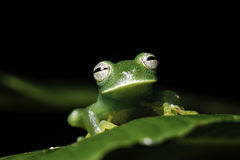 Green tree frog on leaf amazon animal amphibian Stock Image