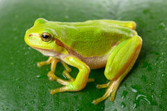 Green tree frog on the leaf royalty free stock images