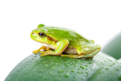 Green tree frog on the leaf stock photography