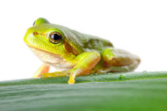 Green tree frog on the leaf. Close up Stock Photo