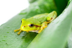Green tree frog on the leaf. Close up Stock Photos