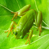 Green tree frog on the leaf royalty free stock image