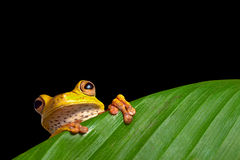 Green tree frog on leaf in rainforest amazon. Green tree frog on leaf in tropical amazon rainforest background with copy space