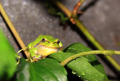 Green tree frog on a leaf Stock Images