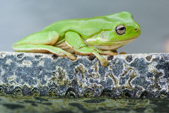 Green tree frog. Litoria caerulea, sitting on edge of pond Stock Images