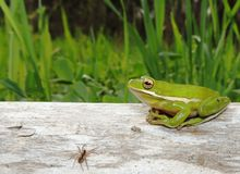 Green Tree Frog on a log Stock Image