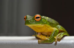 green Tree frog on metal Royalty Free Stock Image