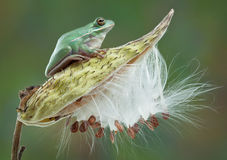 Green Tree Frog on Milkweed Royalty Free Stock Images