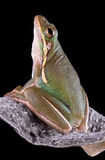 Green tree frog on milkweed pod Stock Images
