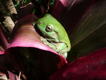 Green Tree Frog On Red Leaf. Stock Images