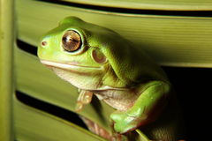 Green Tree Frog on palm royalty free stock photography