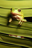 Green Tree Frog on Palm Frond. Vertical closeup of a tropical green tree Frog perched between palm fronds Stock Image