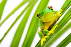 Green tree frog on palm tree. Green tree frog sitting on palm tree blades stock images